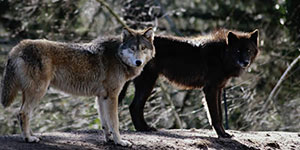 wolf_two