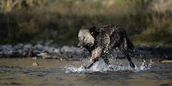 yellowstone winter tours wolf