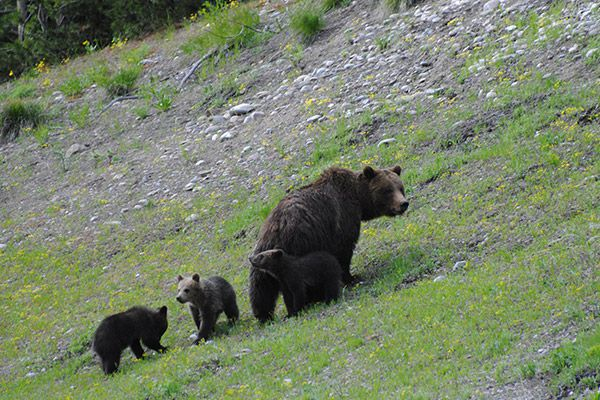 yellowstone wildlife tours